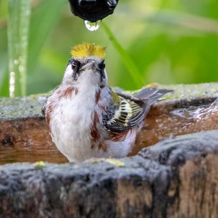 2020-04-19  Chestnut-sided Warbler