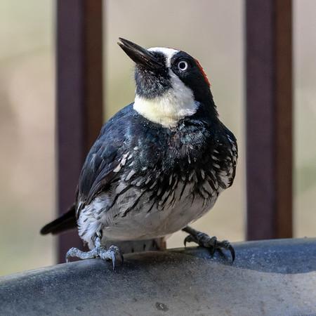 2020-0906  Acorn Woodpecker