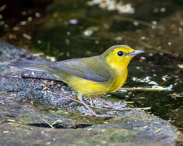 2020-10-14  Hooded Warbler (female)