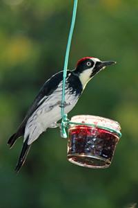 2015-10-10 Acorn Woodpecker