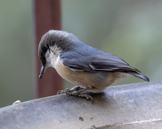 2020-09-05  Pygmy Nuthatch