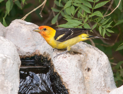 2017-07-29  Western Tanager