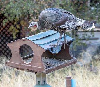 2019-11-16  Wild Turkey