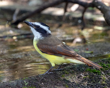 2020-10-15  Great Kiskadee