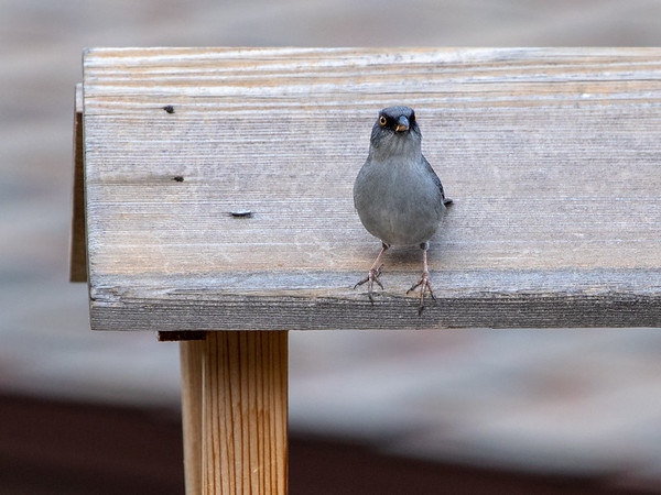 2019-11-16  Yellow-eyed Junco