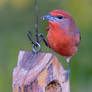 2019-11-16  Hepatic Tanager