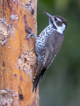 2019-11-16  Arizona Woodpecker (female)