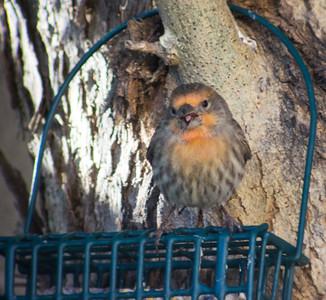2015-10-31  House Finch