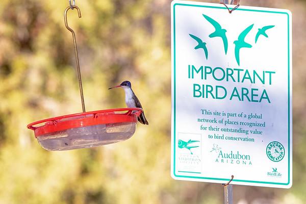 2020-02-02  Violet-crowned Hummingbird
