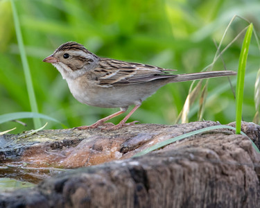 2020-04-21  Lincoln's Sparrow