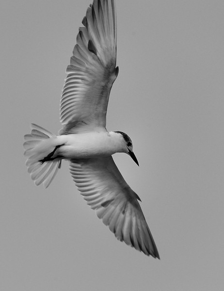 Little Tern. - Didn't get the edge correct.