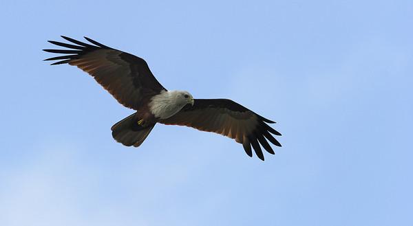 Bharminy Kite