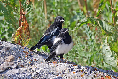 Black-billed Magpie (Young)
