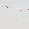 A flight of Common Mergansers passed overhead.