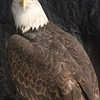 Captive-injured Bald Eagle at Smithville Eagle Days. January 11.