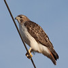Red-tailed hawk posing patiently at 169 HWY and 108th St.  January 9