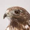 Captive-injured Harlan's Hawk at Smithville Eagle Days.  January 11.