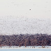 An eagle soars over looking for dinner while the snow geese scatter.