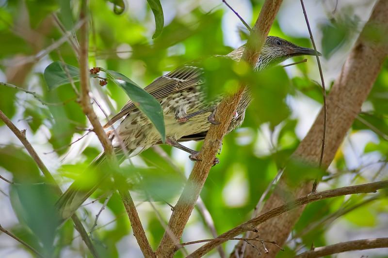 "Female Figbird (Sphecotheres viridis) - Birds and Banksia Heathland - Kathleen McArthur Conservation Park (Currimundi Lake Conservation Park), Currimundi, Sunshine Coast, Queensland, Australia. Photos by Des Thureson - <a href=""http://disci.smugmug.com"">http://disci.smugmug.com</a>"