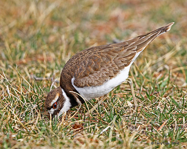 Killdeer  Spring 2014