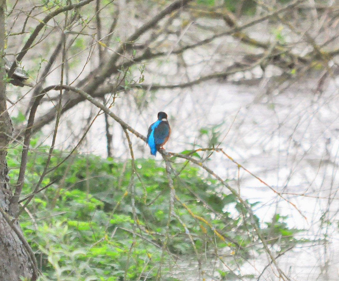 Kingfisher April 30 2012 by Thames