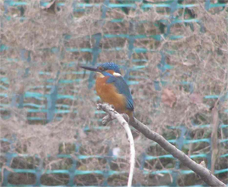 Kingfisher Marlow Feb 2006