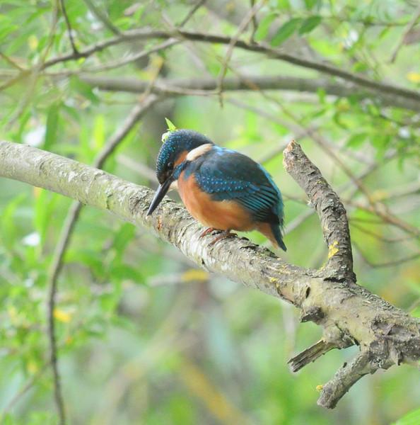 Kingfisher,  Water , Swindon, July 2012