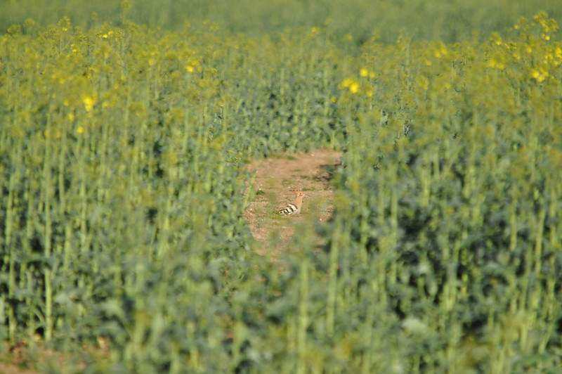 Hoopoe full pic between crop Crondall April 2011