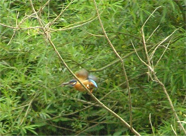 Kingfisher Symonds Yat June 2005