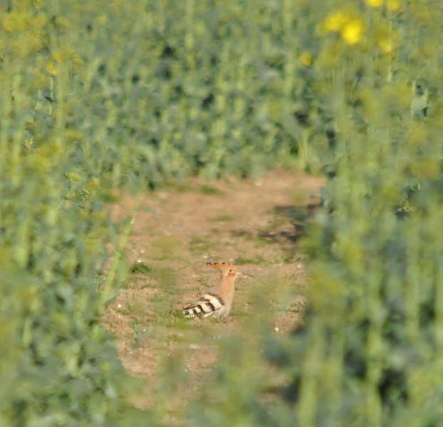 Hoopoe between crop Crondall April 2011