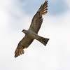 Mississippi Kite (young adult)