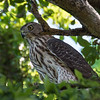 Cooper's Hawk (youngster)