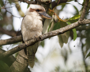 Kookaburra in the neighbours' yard, Brisbane, Qld, AUS; 23 December 2016. Pic by Des Thureson - http://disci.smugmug.com