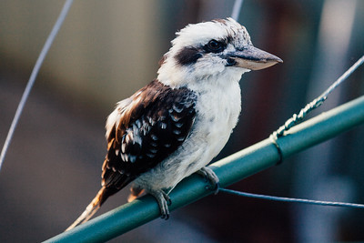 "VSCO Film Preset: ""Kodak Gold 100 Warm"" - Kookaburra on Clothes Line in the early morning, Brisbane, Qld, AUS; 24 February 2016. Pic by Des Thureson - http://disci.smugmug.com"