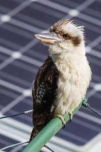 Kookaburra on Clothesline, Brisbane, Qld, AUS; Monday 18 January 2016. Pic by Des Thureson - http://disci.smugmug.com