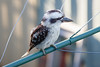 """Look closely - eyes closed - Kookaburra on Clothes Line in the early morning, Brisbane, Qld, AUS; 24 February 2016. Pic by Des Thureson - <a href=""""http://disci.smugmug.com"""">http://disci.smugmug.com</a>"""