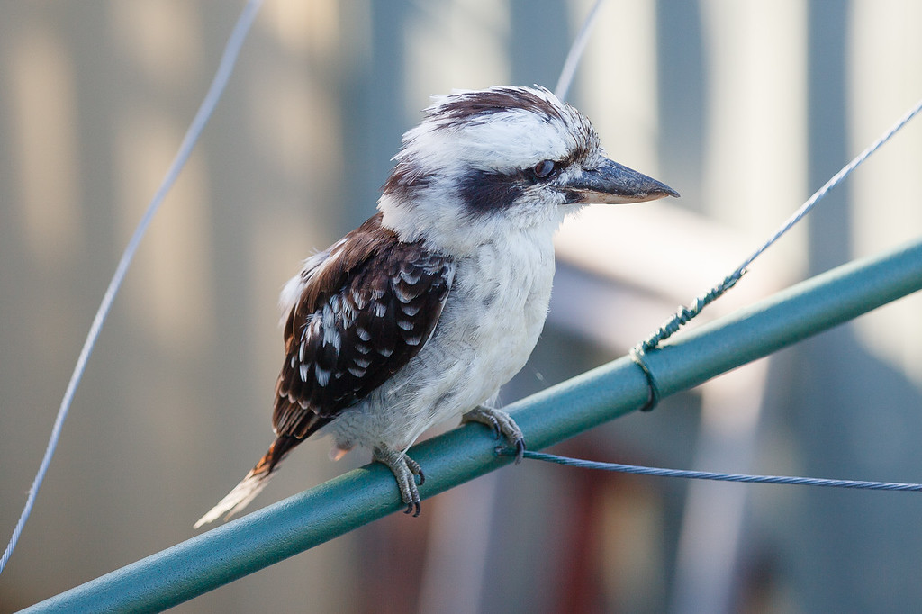 "Look closely - eyes closed - Kookaburra on Clothes Line in the early morning, Brisbane, Qld, AUS; 24 February 2016. Pic by Des Thureson - <a href=""http://disci.smugmug.com"">http://disci.smugmug.com</a>"