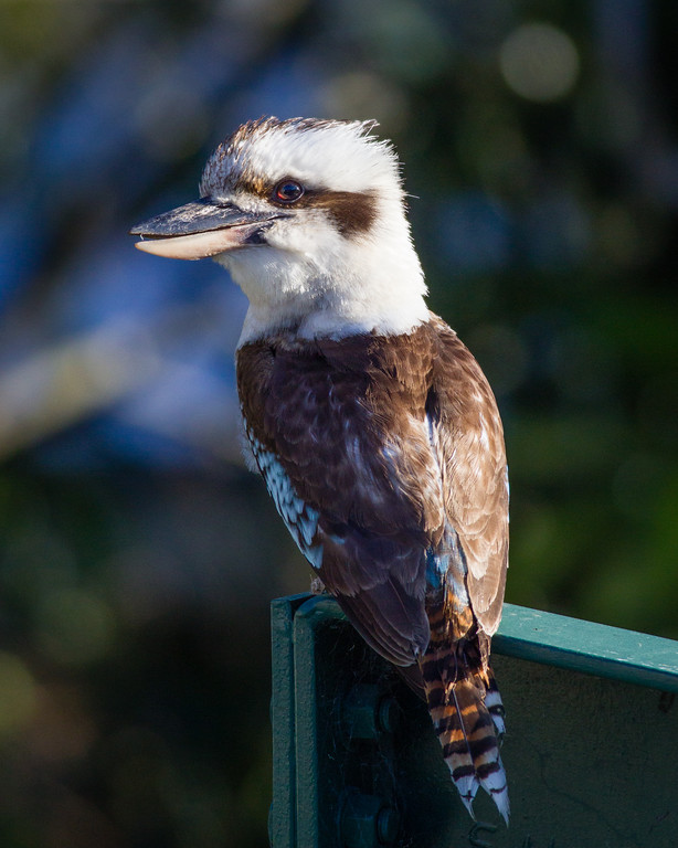 "Kookaburra in the back yard, Brisbane, Qld, AUS; 20 November 2016. Pic by Des Thureson - <a href=""http://disci.smugmug.com"">http://disci.smugmug.com</a>"
