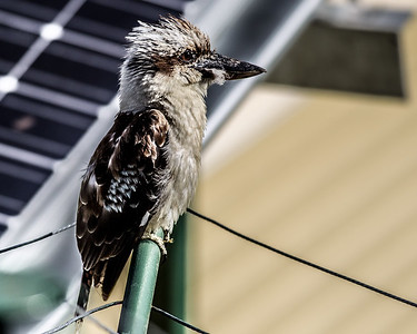 Alternate Processing: Gritty Detailed Effect -  Kookaburra on Clothesline, Brisbane, Qld, AUS; Monday 18 January 2016. Pic by Des Thureson - http://disci.smugmug.com