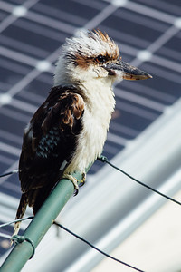 VSCO Film Preset: C - Kodak Gold 100 - - - Kookaburra on Clothesline, Brisbane, Qld, AUS; Monday 18 January 2016. Pic by Des Thureson - http://disci.smugmug.com