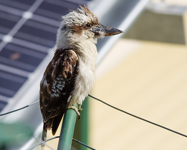 Kookaburra on Clothesline, Brisbane, Qld, AUS; Monday 18 January 2016. Pic by Des Thureson - http://disci.smugmug.com