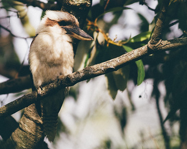"VSCO Film Preset: ""C - Kodak Gold 100 +++"" - Kookaburra in the neighbours' yard, Brisbane, Qld, AUS; 23 December 2016. Pic by Des Thureson - http://disci.smugmug.com"