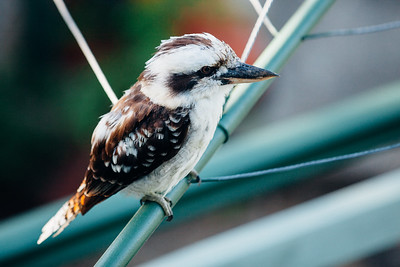 "VSCO Film Preset  ""C - Kodak Gold 100 Vibrant"" - Kookaburra on Clothes Line in the early morning, Brisbane, Qld, AUS; 24 February 2016. Pic by Des Thureson - http://disci.smugmug.com"