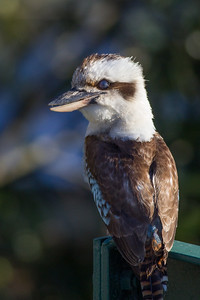 Look closely - eyes closed - Kookaburra in the back yard, Brisbane, Qld, AUS; 20 November 2016. Pic by Des Thureson - http://disci.smugmug.com