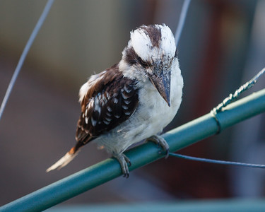 Kookaburra on Clothes Line in the early morning, Brisbane, Qld, AUS; 24 February 2016. Pic by Des Thureson - http://disci.smugmug.com