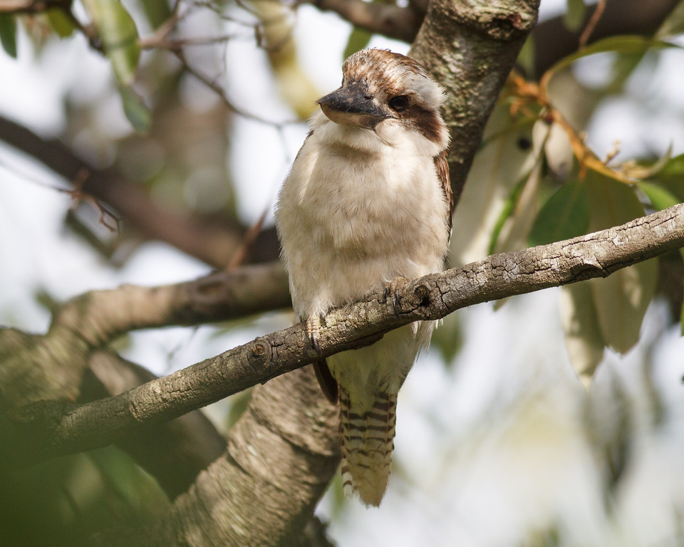 "Kookaburra in the neighbours' yard, Brisbane, Qld, AUS; 23 December 2016. Pic by Des Thureson - <a href=""http://disci.smugmug.com"">http://disci.smugmug.com</a>"