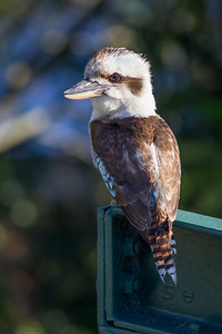 Kookaburra in the back yard, Brisbane, Qld, AUS; 20 November 2016. Pic by Des Thureson - http://disci.smugmug.com