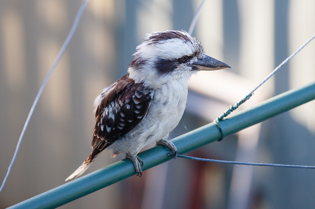 "Kookaburra on Clothes Line in the early morning, Brisbane, Qld, AUS; 24 February 2016. Pic by Des Thureson - <a href=""http://disci.smugmug.com"">http://disci.smugmug.com</a>"