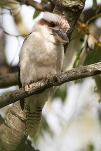 Kookaburra in the neighbours' yard, Brisbane, Qld, AUS; 23 December 2016. Pic by Des Thureson - http://disci.smugmug.com