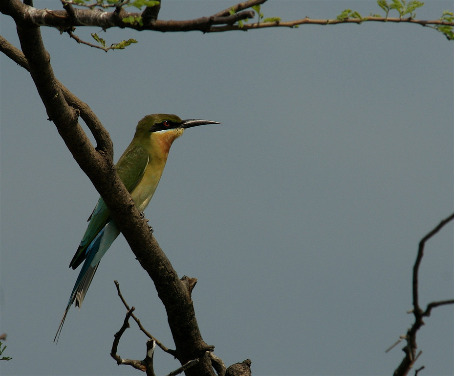 Blue Tailed Bee Eater - Merops philippinus